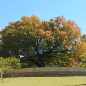 Location: At the Oklahoma City National MemorialDate: 10-19-2019The Survivor Tree - Ulmus americana [American Elm] in OkC 001