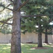 Location: At the Oklahoma City National Memorial [the Murrah Memorial]Date: 10-19-2019Loblolly Pine (Pinus taeda) in Oklahoma City 002