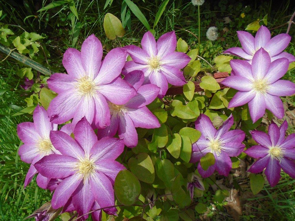 Photo of Clematis 'Asao' uploaded by Kestrel36