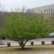 Location: At the Oklahoma City National Memorial Date: Spring, 2005Amur Maple (Acer tataricum subsp. ginnala) 004
