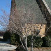 Location: At All Souls' Episcopal Church in Oklahoma CityDate: Fall, 2002Amur Maple (Acer tataricum subsp. ginnala) 003