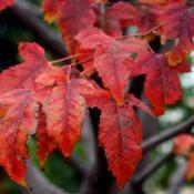 Location: At All Souls' Episcopal Church in Oklahoma CityDate: Fall, 2005Amur Maple (Acer tataricum subsp. ginnala) 002