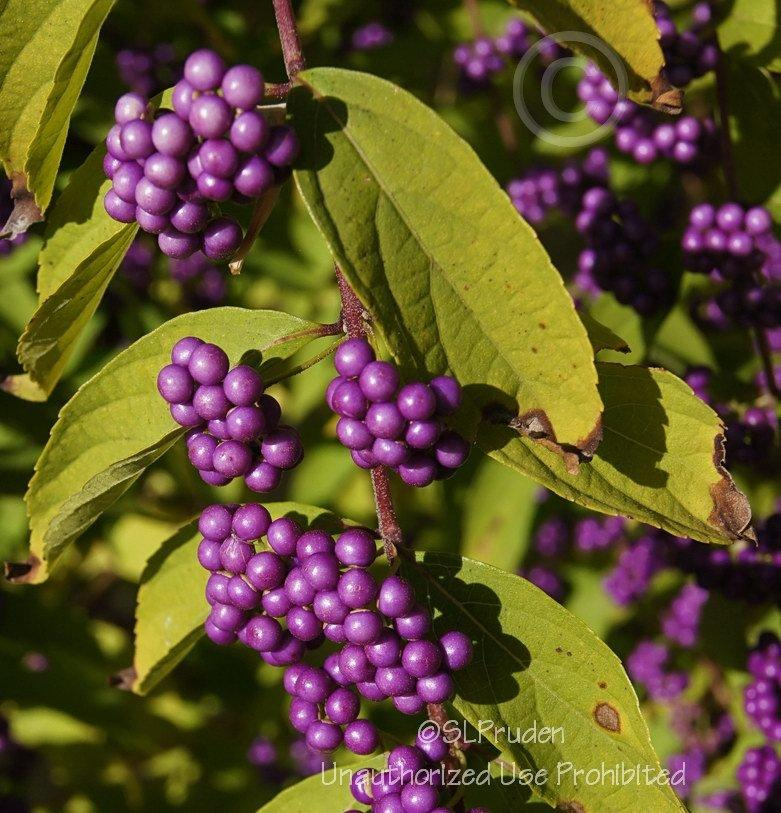 Photo of Beautyberry (Callicarpa dichotoma 'Early Amethyst') uploaded by DaylilySLP