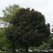 Location: In the Myriad Botanical Garden in Oklahoma CityDate: June, 2004Norway Maple (Acer platanoides 'Crimson King') 003