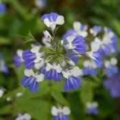 Location: In the Woodland Garden at the Missouri Botanical GardenDate: June, 2004Blue-eyed Mary (Collinsia verna) 003