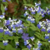 Location: In the Woodland Garden at the Missouri Botanical GardenDate: June, 2004Blue-eyed Mary (Collinsia verna) 002