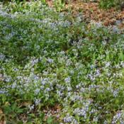 Location: In the Woodland Garden at the Missouri Botanical GardenDate: June, 2004Blue-eyed Mary (Collinsia verna) 001