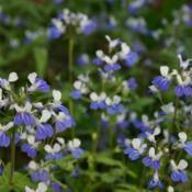 Location: In the Woodland Garden at the Missouri Botanical GardenDate: June, 2004Blue-eyed Mary (Collinsia verna) 004