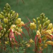 Location: In a front lawn near NW 48th and Military in OkCDate: 2006Desert Bird of Paradise (Caesalpinia gilliesii) 003