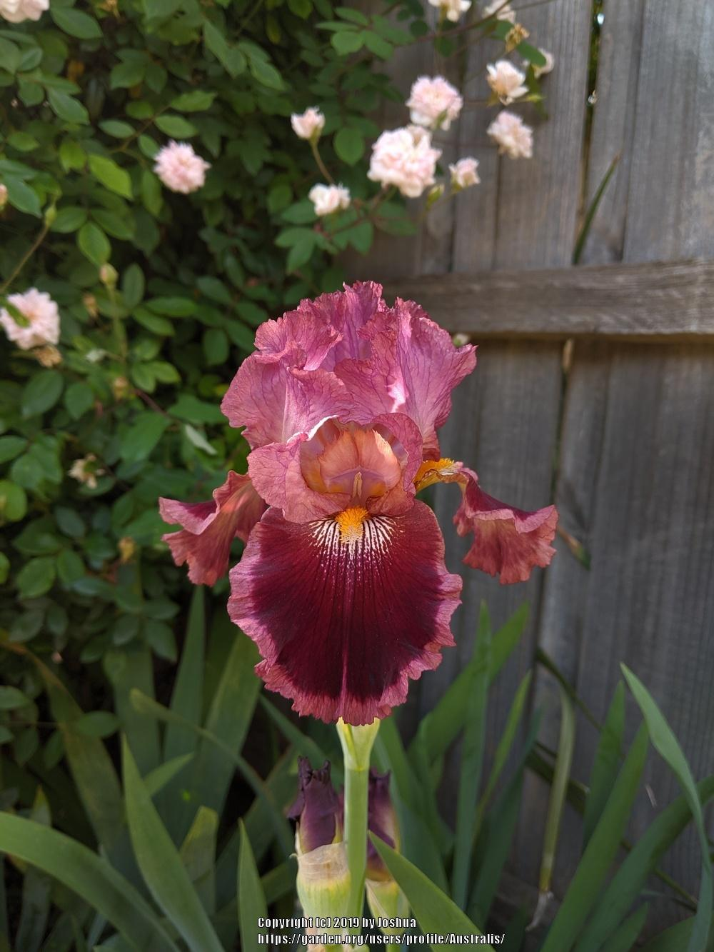 Photo of Tall Bearded Iris (Iris 'Scarlet Embers') uploaded by Australis