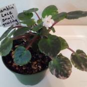 "Location: My trailing african violet collectionDate: 2019-10-221st tiny 1/2"" double white bloom"