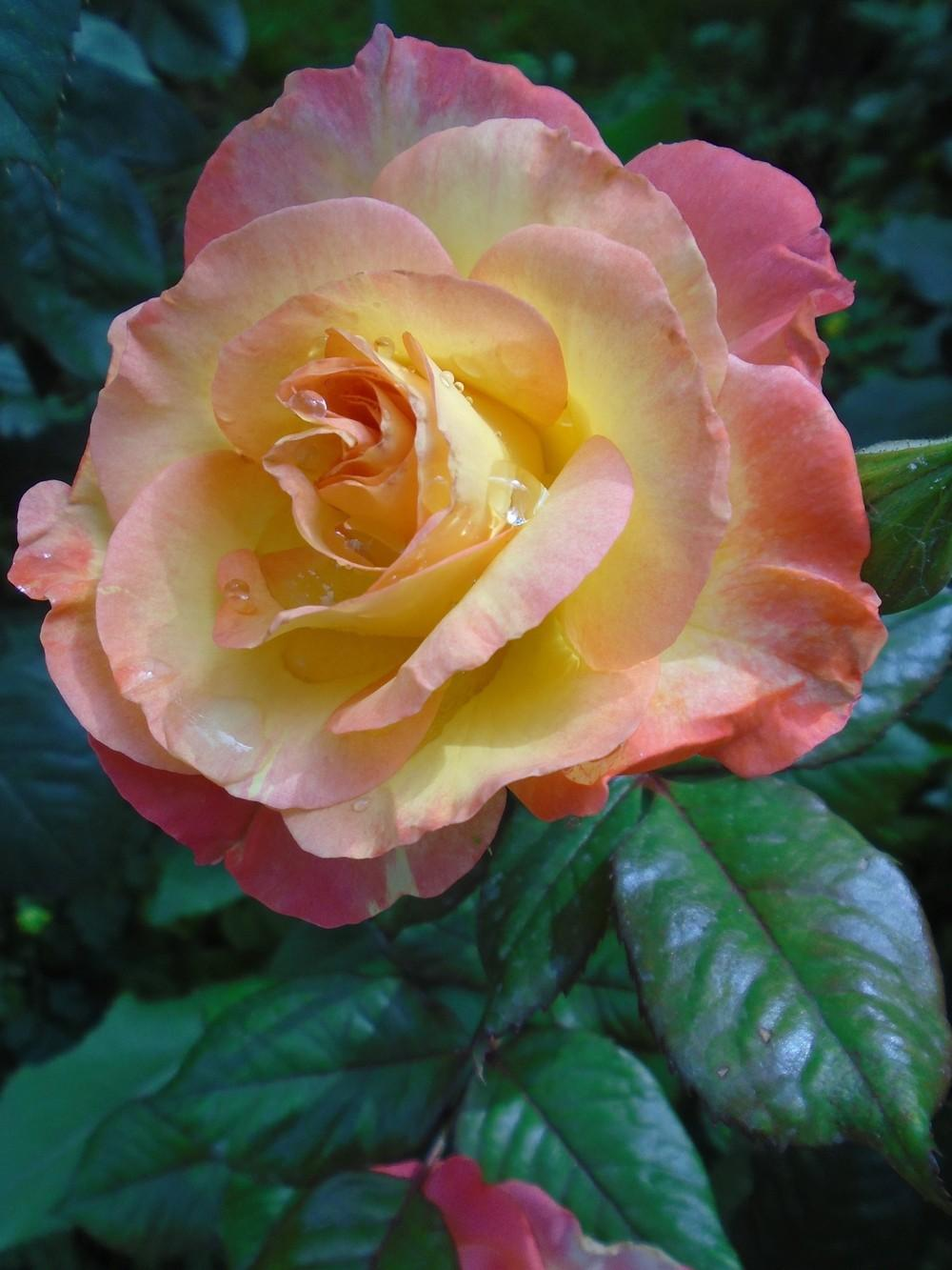 Photo of Rose (Rosa 'Bella'roma') uploaded by Paul2032