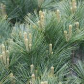 Location: In the rock garden at the Missouri Botanical GardenEastern White Pine (Pinus strobus 'Macopin') 002