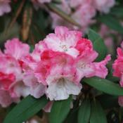 Location: At the Missouri Botanical Garden in Saint LouisDate: May, 2004Rhododendron 'Solidarity' 002