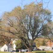 Location: Downingtown, PennsylvaniaDate: 2019-11-06full-grown tree in fall