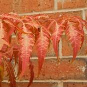 Location: In my garden in Oklahoma CityDate: Fall, 2006Staghorn Sumac (Rhus typhina Tiger Eyes®) 014