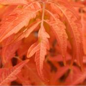 Location: In my garden in Oklahoma CityDate: Fall, 2006Staghorn Sumac (Rhus typhina Tiger Eyes®) 013