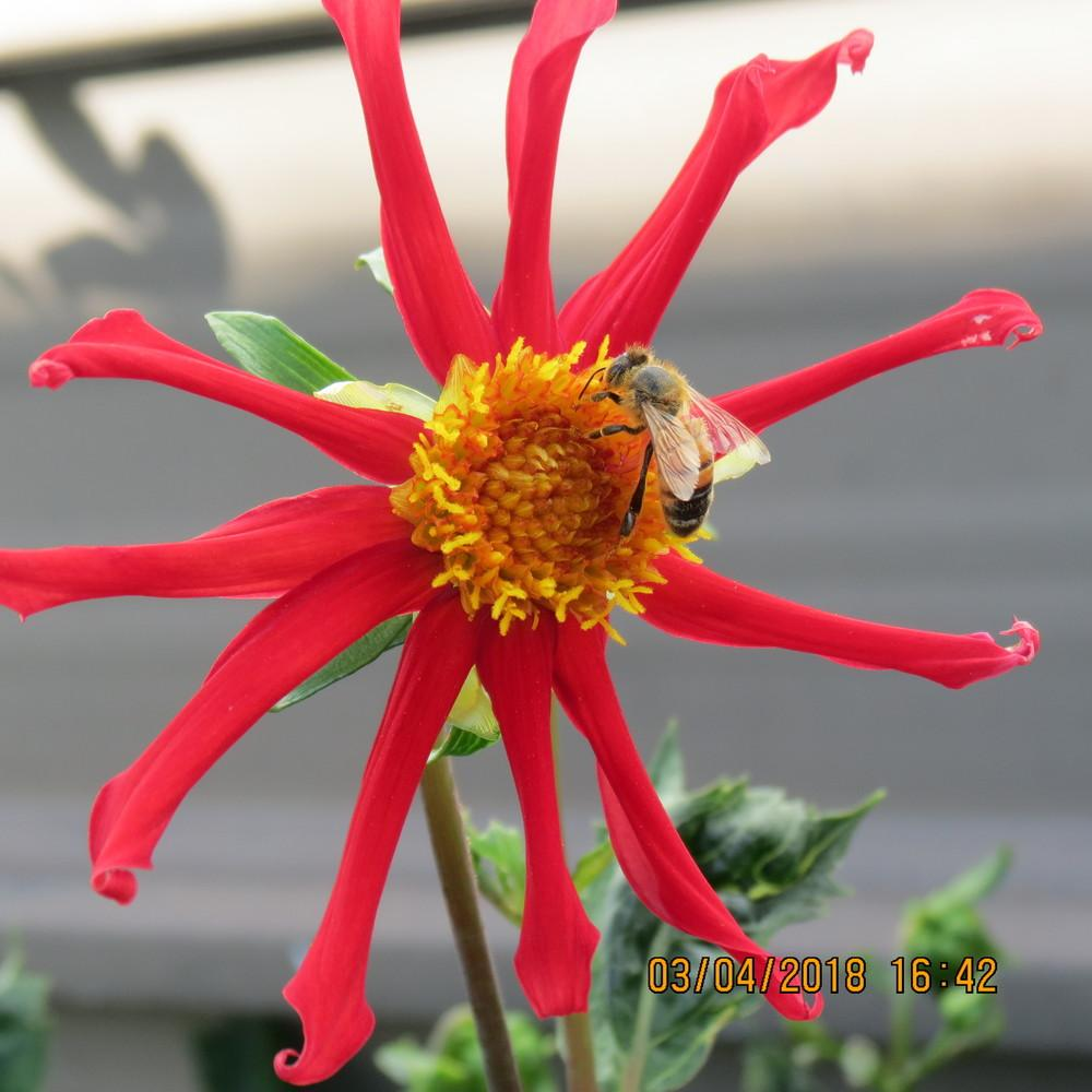 Photo of Dahlia 'Honka Red' uploaded by TrishAUS