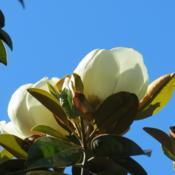 Location: My garden NSW AustraliaDate: 2015-11-30Magnolia grandiflora bloom