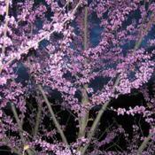 Location: My garden NSW AustraliaDate: 2011-10-08Eastern redbud in the evening