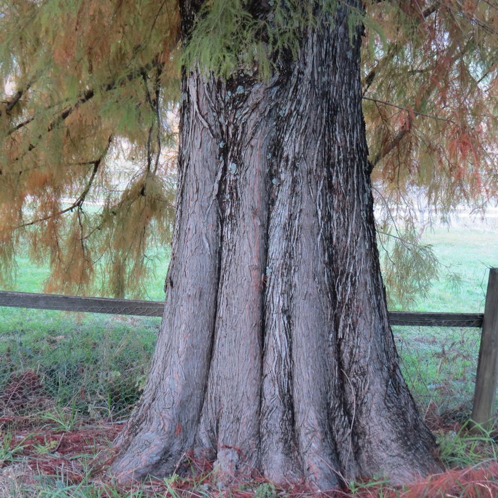 Photo of Bald Cypress (Taxodium distichum) uploaded by TrishAUS