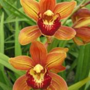 Date: Courtesy of Andy Easton, New Horizon Orchids.