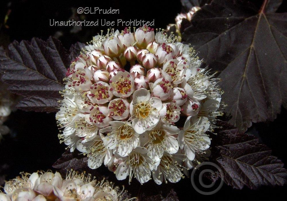 Photo of Eastern Ninebark (Physocarpus opulifolius Diabolo®) uploaded by DaylilySLP