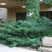 Location: At the OU Medical School in Oklahoma CityDate: Fall, 2006Japanese Yew (Taxus cuspidata) 001