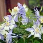 Location: In my garden in Oklahoma CityDate: 05-22-2019Columbine (Aquilegia 'Songbird Bluebird') in situ 001