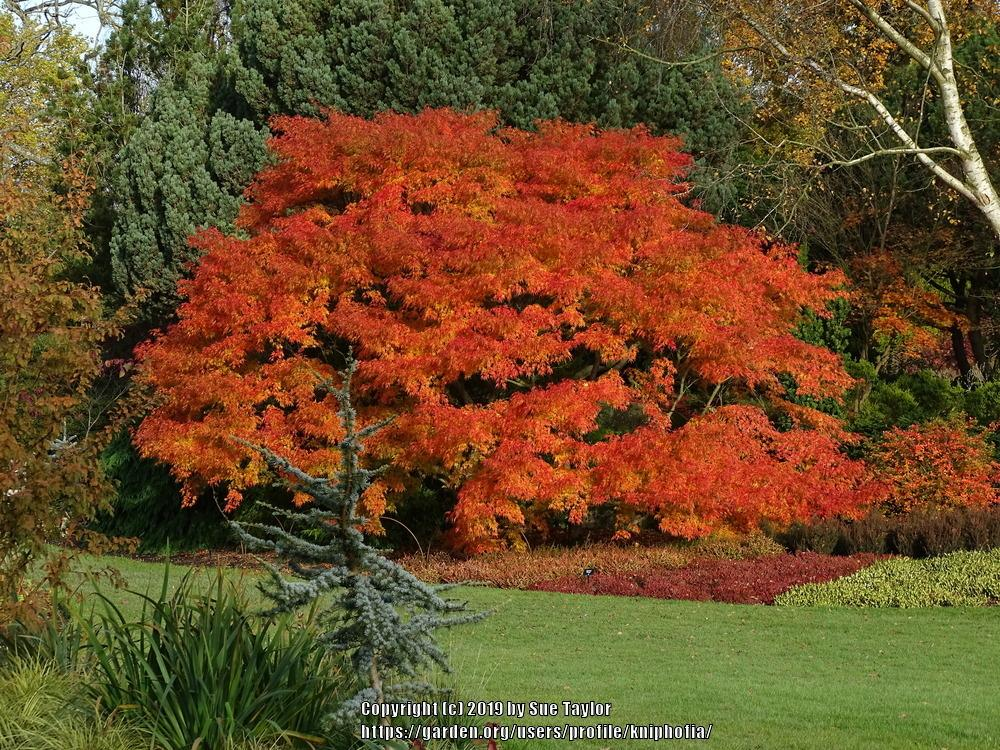 Photo of Cutleaf Japanese Maple (Acer palmatum 'Seiryu') uploaded by kniphofia