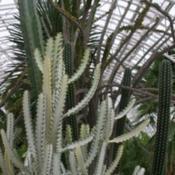 Location: In the Myriad Botanical Garden in Oklahoma CityDate: June, 2004Euphorbia (Euphorbia lactea 'White Ghost') 001