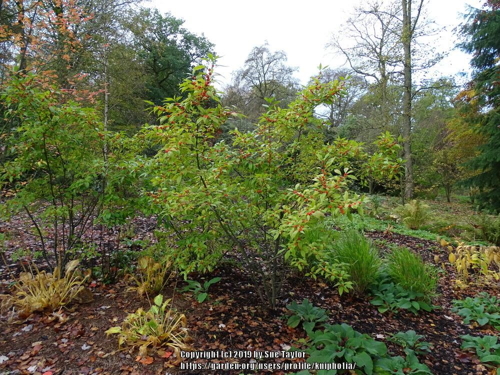Photo of Winterberry Holly (Ilex verticillata 'Winter Gold') uploaded by kniphofia
