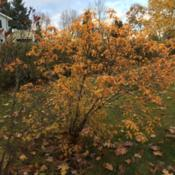 Location: Southern MaineDate: 2018-11-03Gold late fall color.