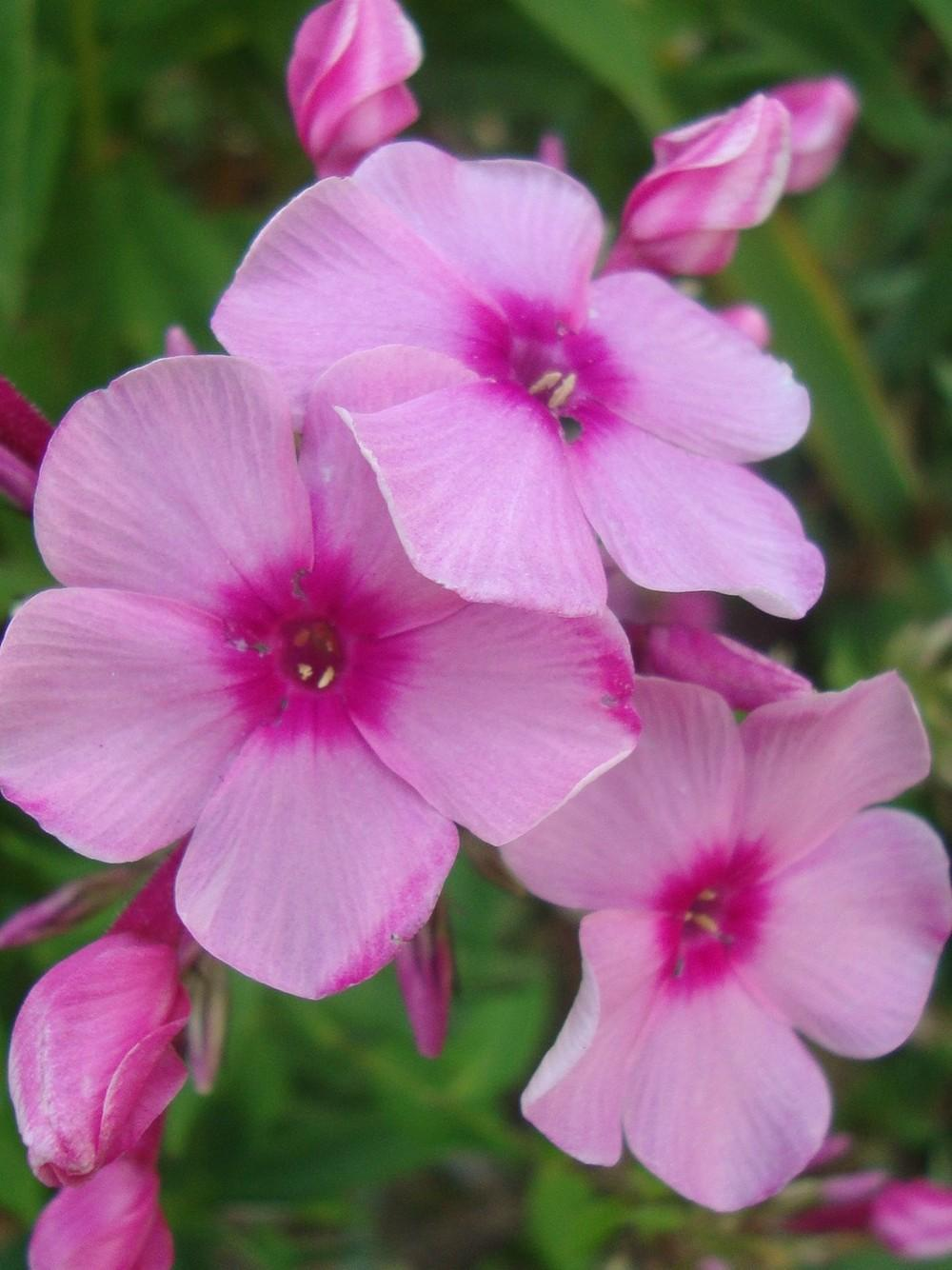 Photo of Phloxes (Phlox) uploaded by Paul2032