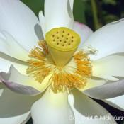Location: Kenilworth Park and Aquatic Gardens, Washington DCDate: 2018-07-12Sacred lotus (Nelumbo nucifera). Known also as Indian L