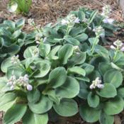 Location: In my garden in Oklahoma CityDate: 06-06-2018Hosta 'Blue Mouse Ears' in my garden in OkC 008