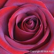 Location: Vladivostok, Primorsky Kraj, RussiaDate: 2011-08-03Red Rose (Rosa)