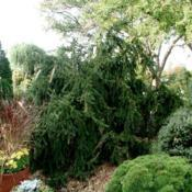 Location: In the Missouri Botanical Garden in Saint LouisDate: Weeping Norway Spruce (Picea abies 'Pendula') 001