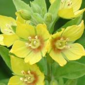 Location: At St. Mary's College in Leavenworth, KSDate: June, 2012Yellow Loosestrife (Lysimachia punctata) 003