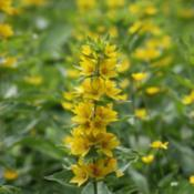 Location: At St. Mary's College in Leavenworth, KSDate: June, 2012Yellow Loosestrife (Lysimachia punctata) 004