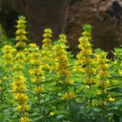 Location: At St. Mary's College in Leavenworth, KSDate: jUNE, 2012Yellow Loosestrife (Lysimachia punctata) 001