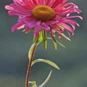 Location: Vladivostok, Primorsky Kraj, RussiaDate: 2010-09-22China Aster (Callistephus chinensis)
