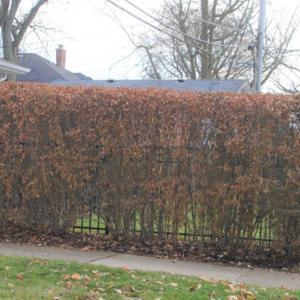 sheared into hedge and late fall foliage