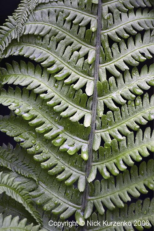 Photo of Ostrich Fern (Matteuccia struthiopteris) uploaded by Nick_Kurzenko