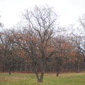Location: Morton Arboretum in Lisle, IllinoisDate: 2019-11-24several trees in a group, focused on one