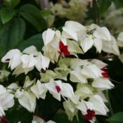 Location: At the Missouri Botanical Garden in Saint LouisDate: 05-08-2019Bleeding Heart Vine (Clerodendrum thomsoniae) 001