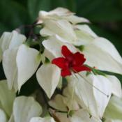 Location: At the Missouri Botanical Garden in Saint LouisDate: 05-08-2019Bleeding Heart Vine (Clerodendrum thomsoniae) 003