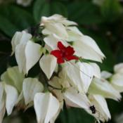 Location: At the Missouri Botanical Garden in Saint LouisDate: 05-08-2019Bleeding Heart Vine (Clerodendrum thomsoniae) 002
