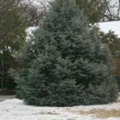 Location: At the Missouri Botanical Garden in Saint LouisDate: winter, 2007Colorado Blue Spruce (Picea pungens)