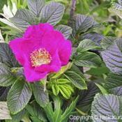Location: Hokkaido, JapanDate: 1998Ramanas Rose (Rosa rugosa). Wild plant in natural habit